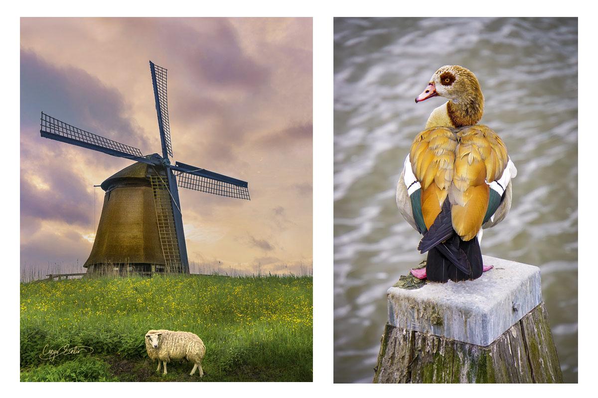 2-up_Caryn-Eplin_Holland-Sheep-Duck copy